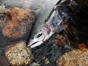 Rainbow trout patagonia argentina